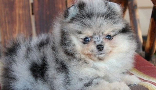 Pomeranian puppy for sale + 56227