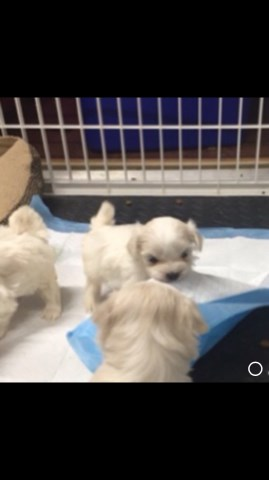 Maltese puppy for sale + 56151