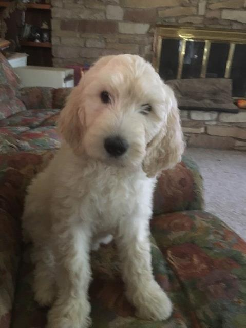 Goldendoodle Puppy Dog For Sale In Akron Ohio