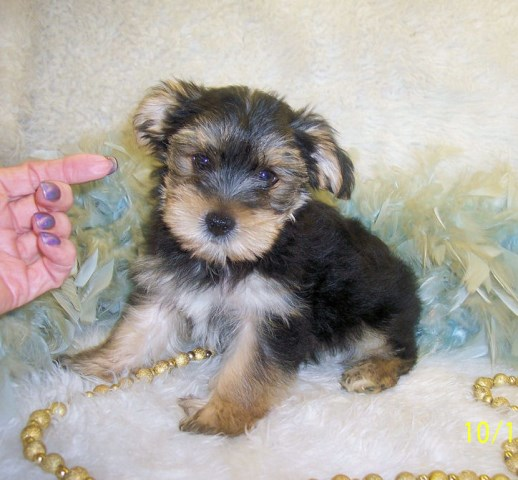 Teacup Morkie puppies for sale in Mississippi