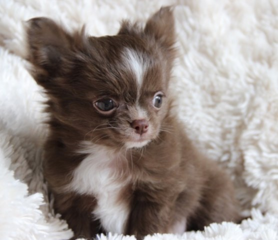 Chihuahua Puppy Dog For Sale In Natchitoches Louisiana