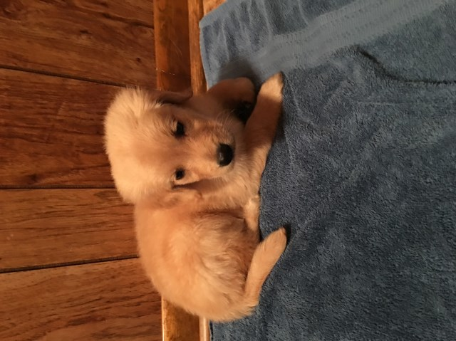 Golden Retriever puppy dog for sale in Crossville, Tennessee