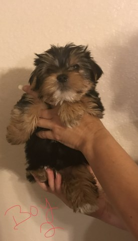 Yorkshire Terrier Puppy Dog For Sale In San Antonio Texas