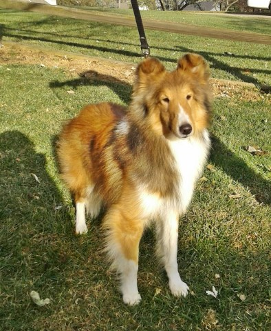 Sheltie Sable Male