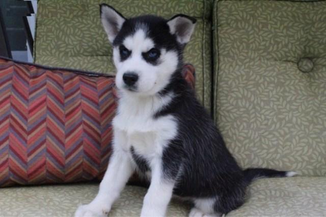 Siberian Husky Puppy Dog For Sale In Anchorage Alaska