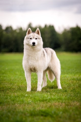 Siberian Husky Puppy Dog For Sale In Westfield Vermont