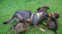 Working line litter, taking dep. now German Shepherd Dog for sale/adoption