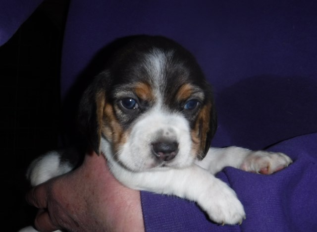 Beagle puppy for sale + 55927
