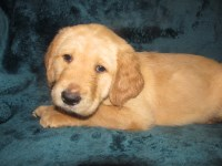 Adorable Labradoodle Puppies! Labradoodle for sale/adoption