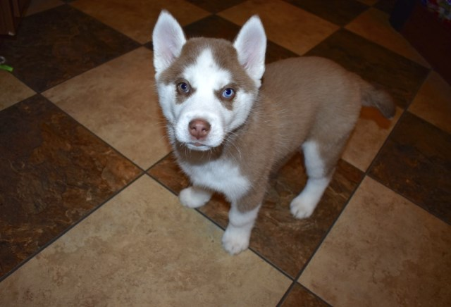 Siberian Husky puppy for sale + 54401
