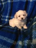 AKC Registerable 3 Male Maltese Puppies Maltese for sale/adoption