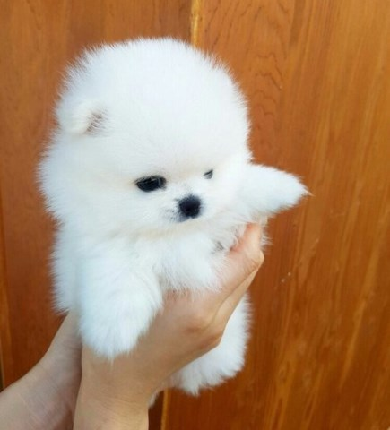 Pomeranian Puppy Dog For Sale In Detroit Michigan