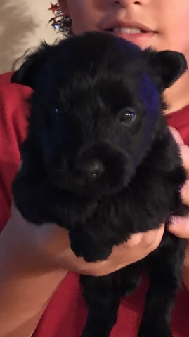 Scottish Terrier Puppy Dog For Sale In Shallotte North Carolina