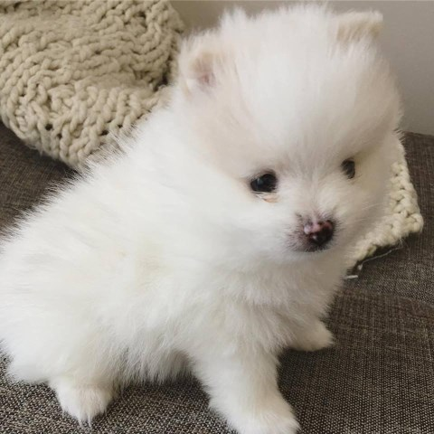 Pomeranian puppy for sale + 54409