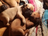 BULLMASTIFF PUPPIES  --- Born 12-15-16   (4 1/2 weeks old) ... 3 Females Available ...  AKC Ch. Bullmastiff for sale/adoption