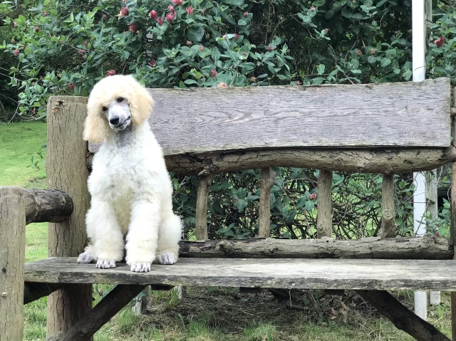 Poodle Standard puppy for sale + 53217
