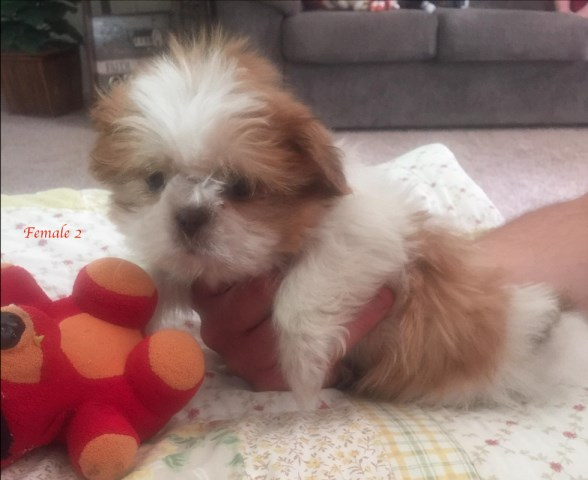 Shih Tzu Puppy Dog For Sale In Piketon Ohio