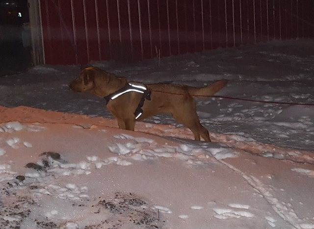Red Hunting Lab, neutered, microchipped unregistered and UTD on shots.