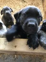 9 week old cane corsos~ready to go home Cane Corso for sale/adoption