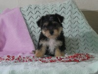 Yorkipoo Dogs and Puppies for Adoption
