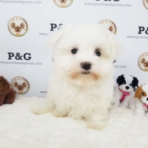 Maltese puppy for sale + 53668