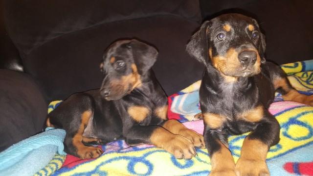 Doberman Pinscher Puppy Dog For Sale In Seattle Washington