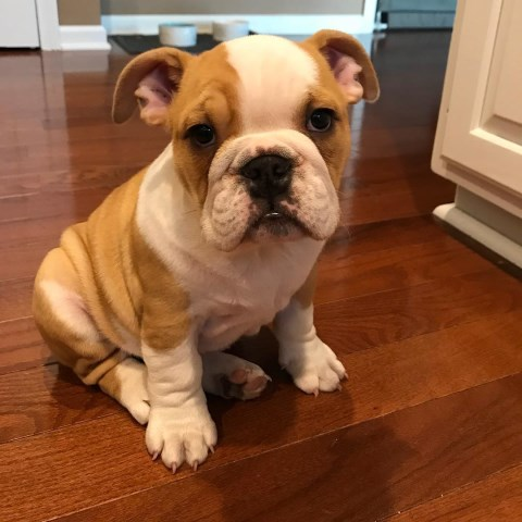 English Bulldog puppy dog for sale in Whitewater, Wisconsin