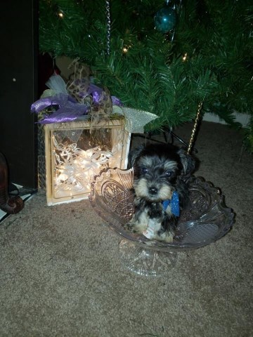 Miniature Schnauzer Puppy Dog For Sale In College Station Texas