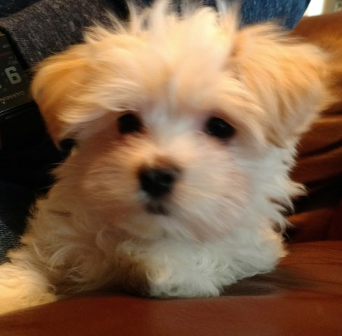 Morkie puppy dog for sale in Vancouver, Washington
