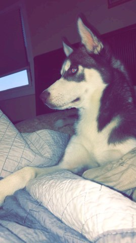 Siberian Husky puppy for sale + 47806