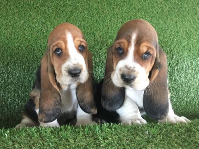 Basset Hound Puppy Dog For Sale In Detriot Michigan