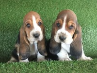 Basset Hound Puppies And Dogs For Sale Near You
