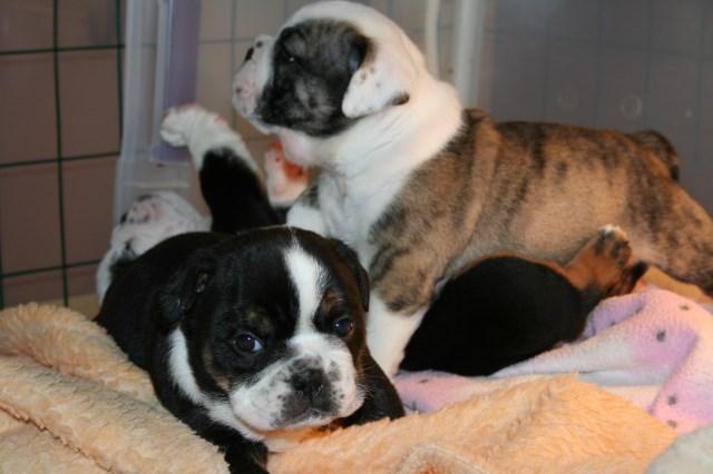 English Bulldog Puppy Dog For Sale In Houston Texas