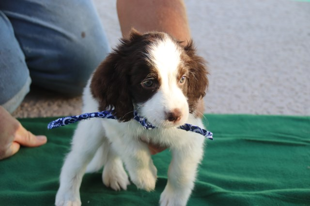English Springer Spaniel puppy dog for sale in mesa, Arizona
