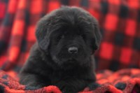 Ian2617 Newfoundland Newfoundland Dog for sale/adoption