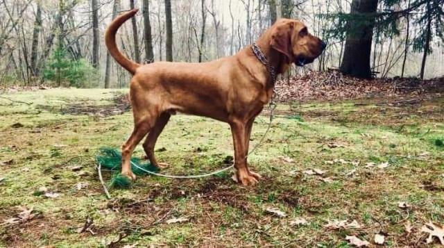Bloodhound puppy dog for sale in Ravenna, Michigan