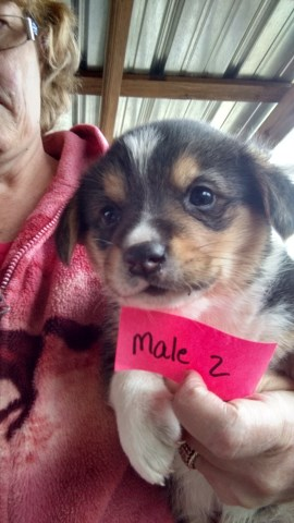 Pembroke Welsh Corgi Puppy Dog For Sale In Trenton Florida