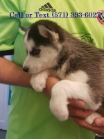 Pomsky and Siberian Husky Puppies Available Siberian Husky for sale/adoption