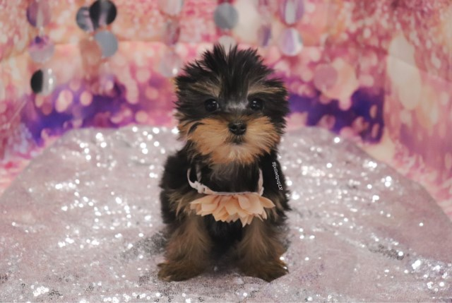 Yorkshire Terrier - Peony - Female