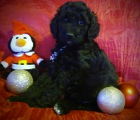 Stunning AKC Standard Poodle puppies Poodle Standard for sale/adoption