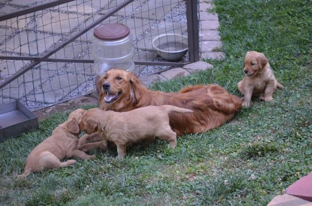 Golden Retriever puppy dog for sale in murphy, North Carolina