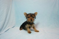 Registered Teacup Male Yorkie Puppies ! Yorkshire Terrier for sale/adoption