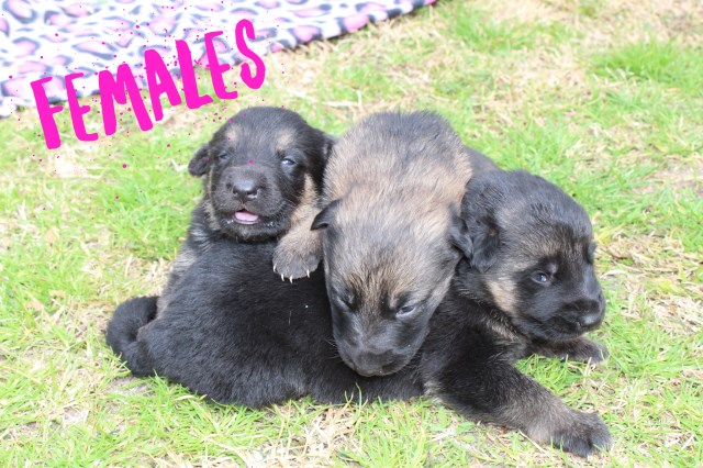 German Shepherd Dog puppy for sale + 55262