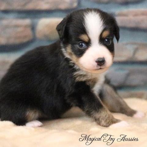 Miniature Australian Shepherd puppy dog for sale in Byron, New York