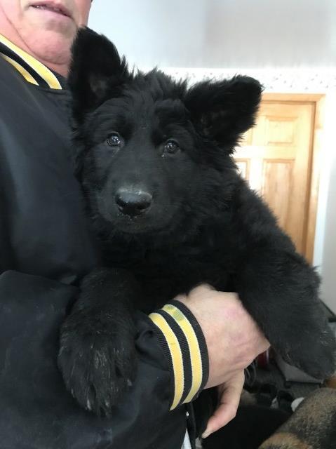 German Shepherd Dog puppy dog for sale in Nelson, Wisconsin