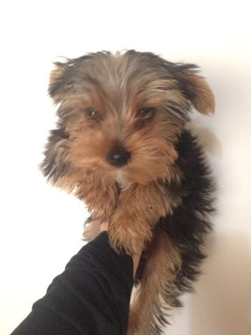 Yorkshire Terrier puppy for sale + 55056