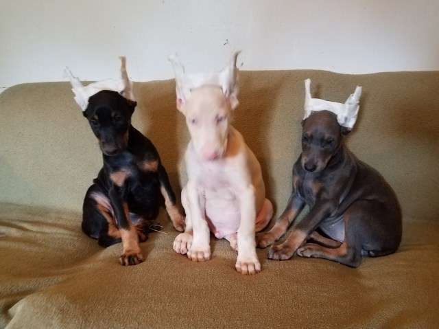 Doberman Pinscher Puppy Dog For Sale In Knoxville Illinois