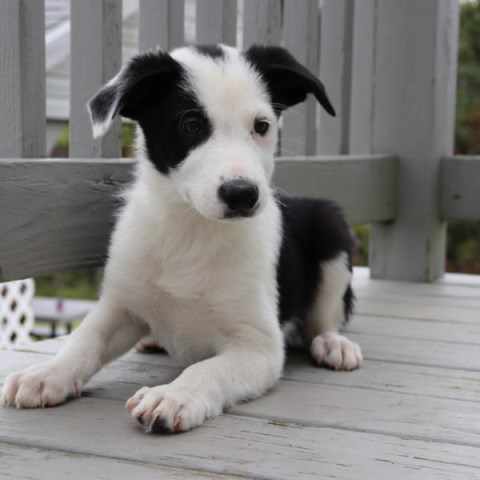 Border Collie Puppy Dog For Sale In North Canton Ohio