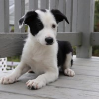 SALLEE BORDER COLLIE Border Collie for sale/adoption