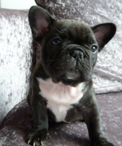 Adorable Female French Bulldog Puppy